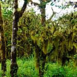 Flechten und Bäume leben in Symbiose. In der Trockenzeit spenden die Flechten dem Baum das in ihnen gespeicherte Wasser