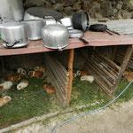 Meerschweinchen - sie warten darauf, gegessen zu werden. Die Töpfe stehen schon bereit ;-)