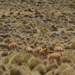 Aus dem Wolle der ausschließlich wild lebenden Vicuñas werden mit die teuersten Kleidungsstücke der Welt gefertigt