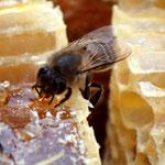 ニホンミツバチの不思議な世界-10