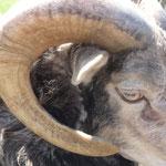 ... dieses Schaf aus Norwegen glaub'ich will immer gestreichelt werden, stinkelet aber ziemlich...