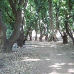 Allée de manguiers près de Banfora
