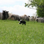 Siwa an den Schafen