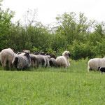 Lyka an den Schafen