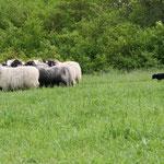Twizz an den Schafen