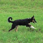 Spiri als Junghund