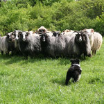 Abbs an den Schafen