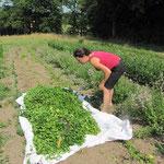 Récolte de menthe bergamote