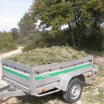 Récolte du romarin dans l'Hérault