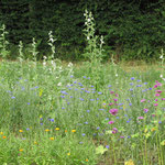 Cueillettes quotidienne de fleurs de Mauve, bleuet, guimauve, calendula...