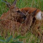 Auch Rehe im Park kennen keine Scheu und bereiten Jungpflanzen oftmals den Garaus.