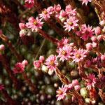 Spinnwurzblüte