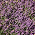 Lavendel mit