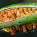 Aufplatzender Samenkolben der Wasserlilie