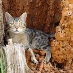 Katze mit Stammbaum