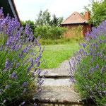 Lavendel lockt Schmetterlinge
