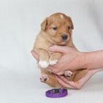 Devil´s Paintbrush Indicator Variegatus (Indy)