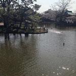 鎌倉八幡宮の源氏池