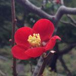 2014年 長谷寺の木瓜