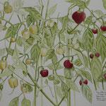 Titolo-  Peperoncini ciliegia peperoni campanellino in mianatura gialli Tecnica- acquerello su carta  Misure- cm 50x40  Anno- 2020