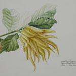 Titolo: Studio di Cedro Mano di Buddha - Tecnica: acquerello su carta - Misure: cm30,5 x 45,5 - Anno: 2010