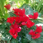 クレマチス 路地では春の花