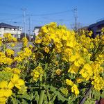 馬堀海岸3丁目公園の菜の花