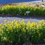 横須賀市馬堀海岸3丁目公園の菜の花
