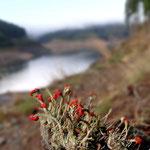 Flechtenblüte am Unterbecken des PSW