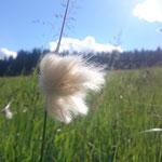 Wollgrassamen