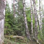Gammal högstammig skog