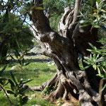 Uralte Olivenbäume der Insel Pag