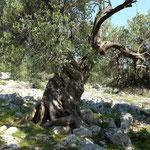Olivengarten von Lun auf Pag