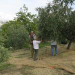 bei der Ernte unserer Oliven