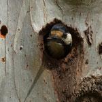Picchio esce dal nido