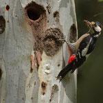 Picchio machio con Forficula Auricularia
