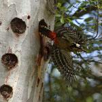 Picchio esce dal nido in volo
