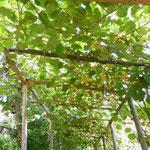 Gite de liou - Cévennes - La treille des kiwis