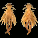 Chondracanthidae Chondracanthus distortus female © Danny Tang