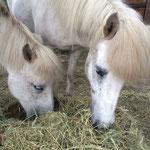 Die beiden Islandstuten Fjödur und Dröttning sind beste Freundinnen