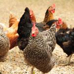 Marias Hühnerschar