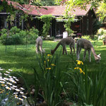 Die Alpakas als Rasenmäher