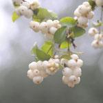 Beeren im Herbst