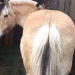 Lisa, die 26-jährige Norwegerstute ist ein Knaller. So ein vitales Pferd. Seit Ostern 2016 lebt sie bei uns.