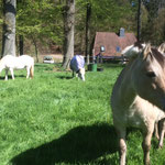 Lisa hat mit den beiden Islandstuten eine neue Herde gefunden. Sie genießt den Weidegang in Eickstüve.