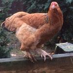 Den Hühnern geht es rund um gut und sie legen fleißig Eier