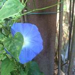 Das herrliche Blau der Winde
