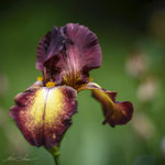 Iris Provencal