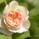 Pastella Rose