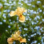 Iris Apricot Silix